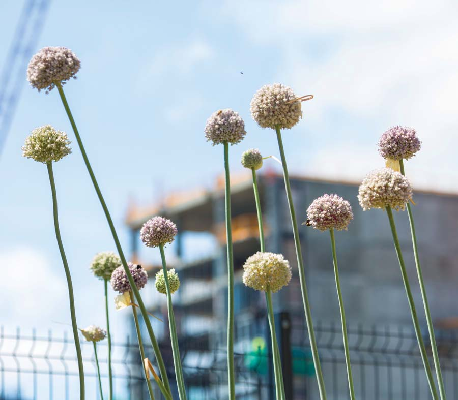 Leeks bolting skywards, just like the new buildings. Photo: JS